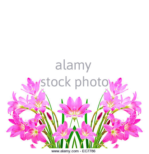 White Rain Lily clipart #2, Download drawings