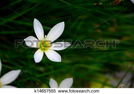 White Rain Lily clipart #7, Download drawings