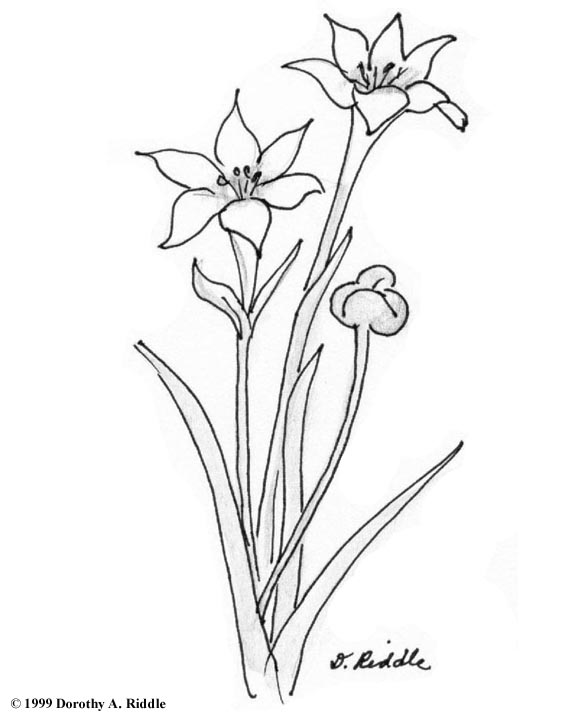 White Rain Lily coloring #1, Download drawings