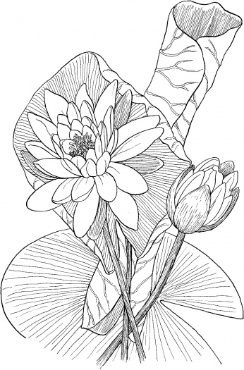 White Rain Lily coloring #17, Download drawings