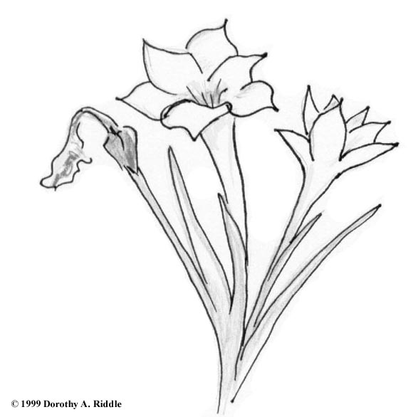 White Rain Lily coloring #16, Download drawings