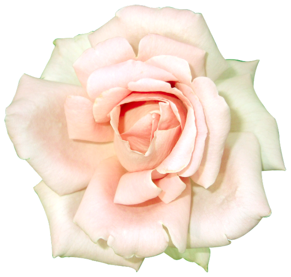 White Rose clipart #20, Download drawings