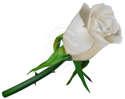 White Rose clipart #8, Download drawings