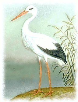 White Stork clipart #19, Download drawings