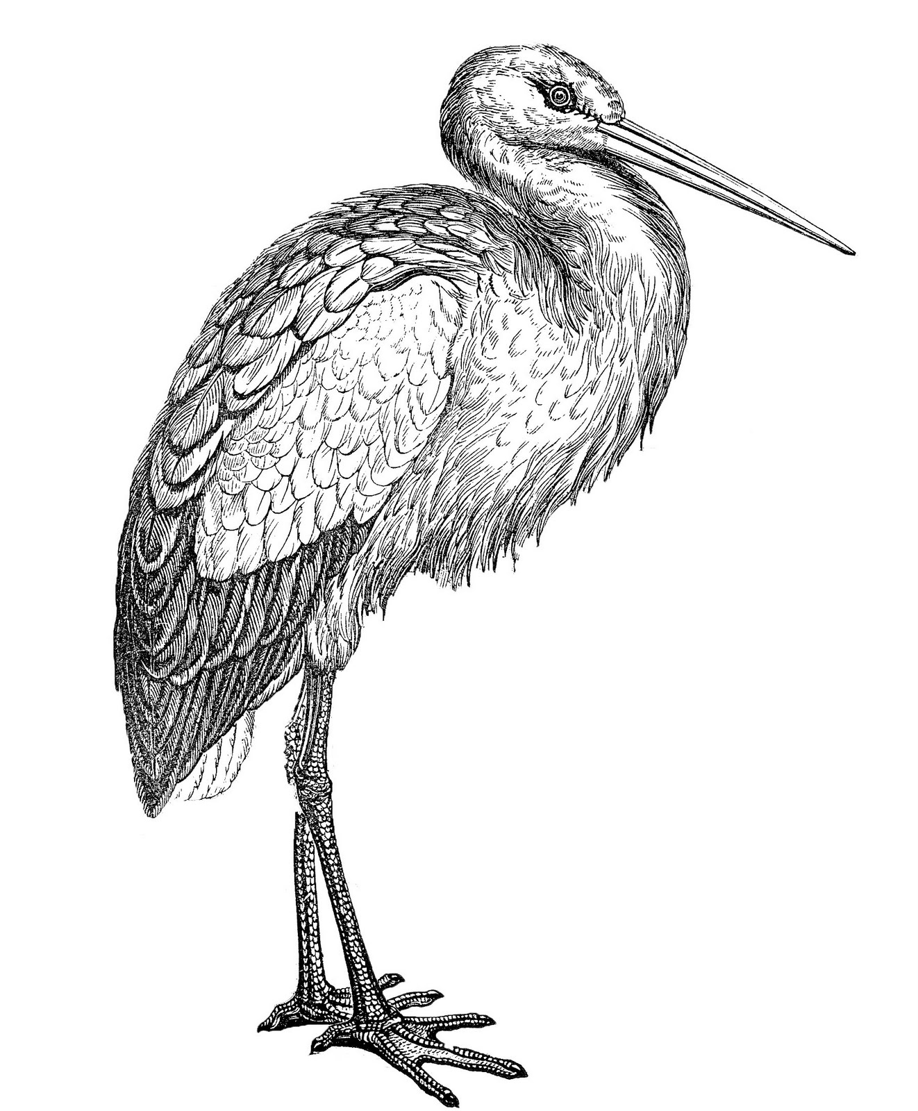 White Stork clipart #5, Download drawings