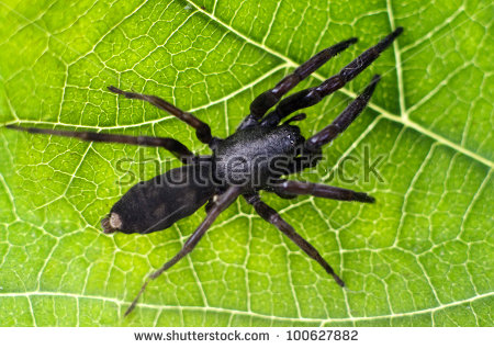 White Tail Spider clipart #9, Download drawings