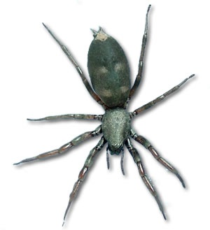 White Tail Spider clipart #13, Download drawings