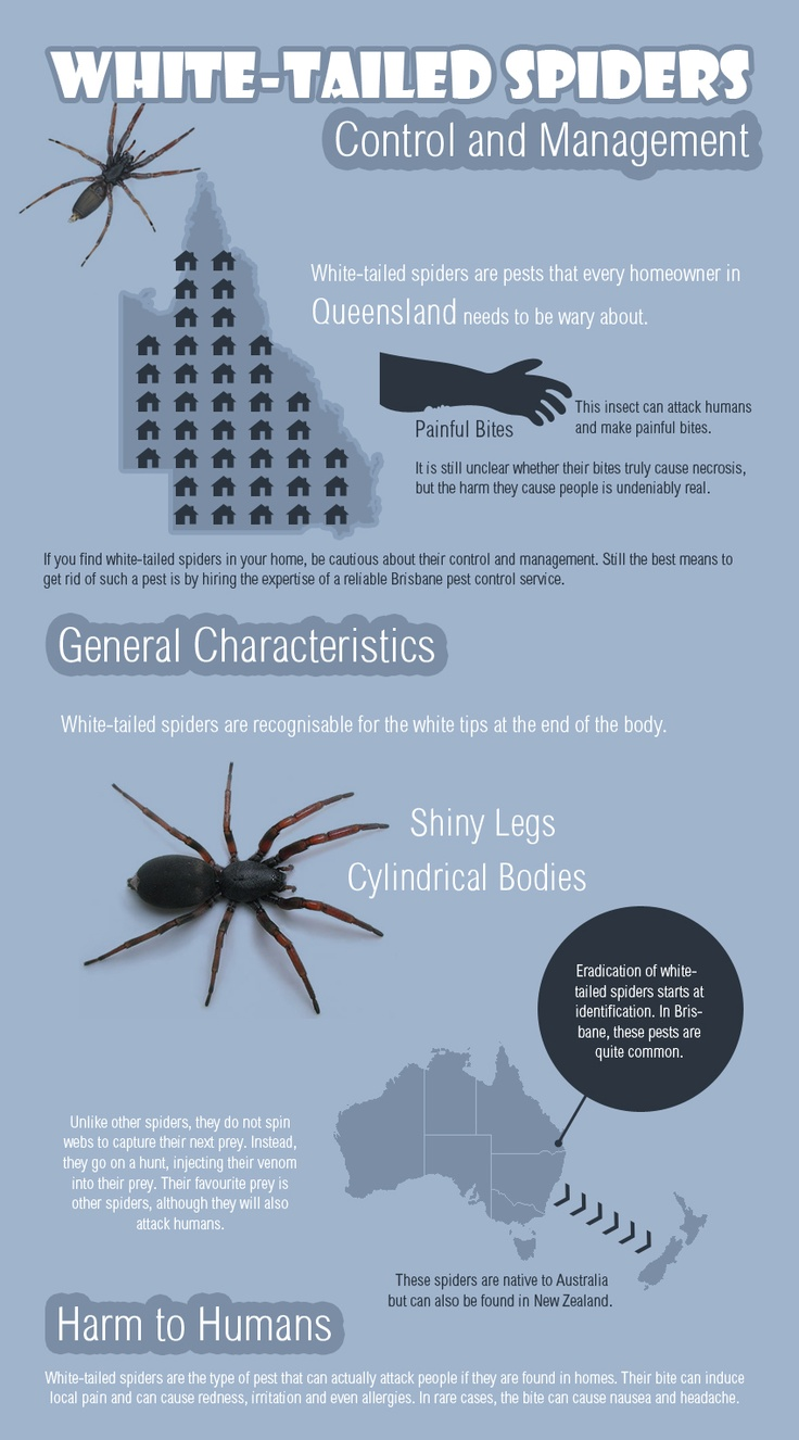 White Tail Spider svg #5, Download drawings