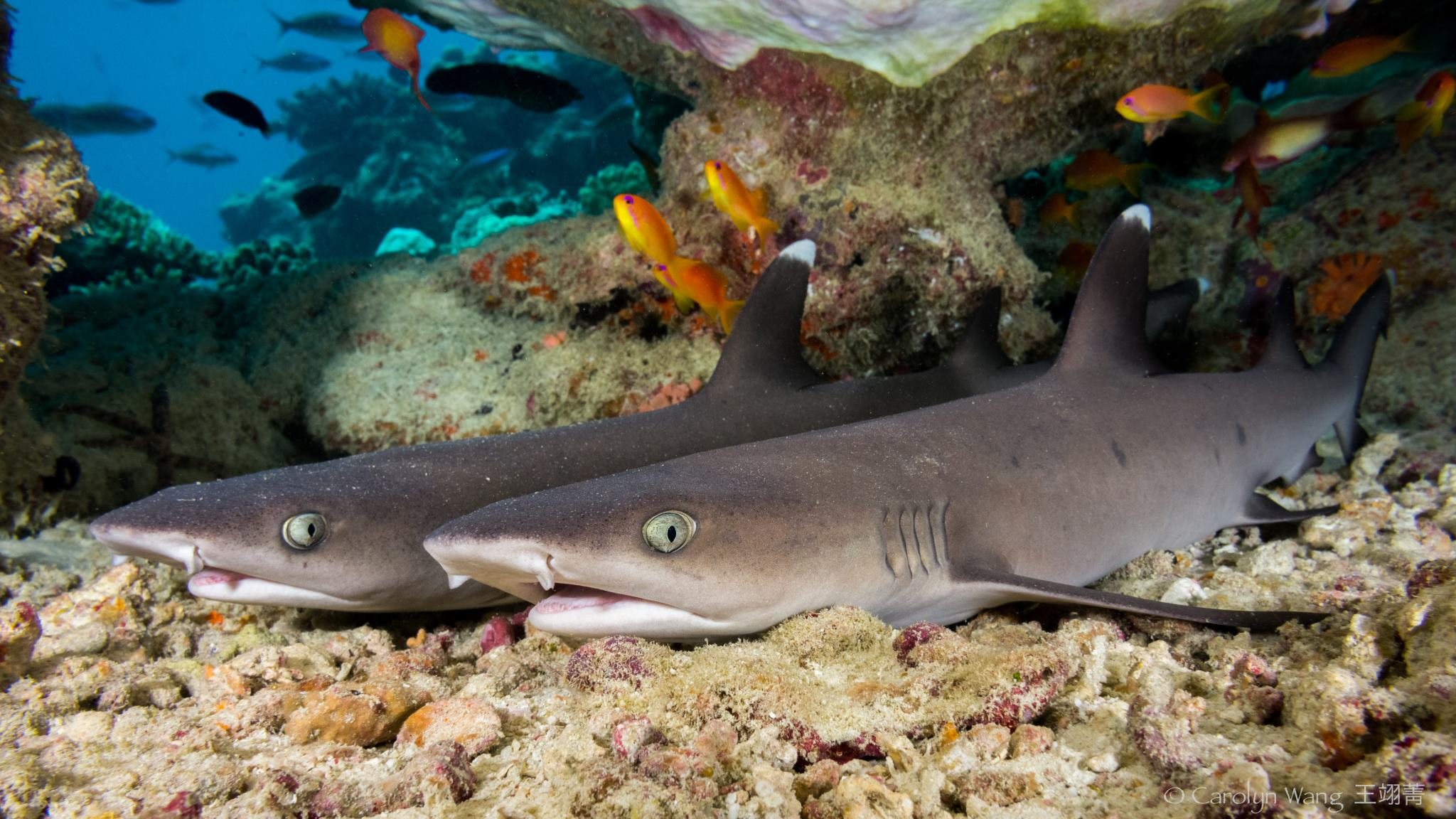 White Tipped Reef Shark svg #15, Download drawings