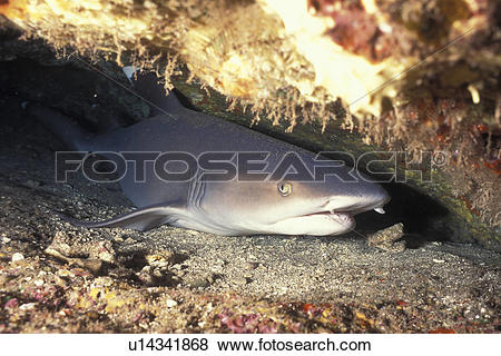 White Tipped Reef Shark clipart #10, Download drawings
