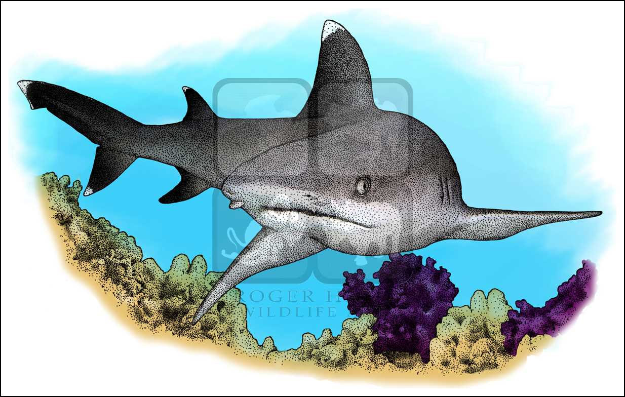 White Tipped Reef Shark clipart #5, Download drawings