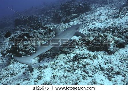 White Tipped Reef Shark clipart #9, Download drawings