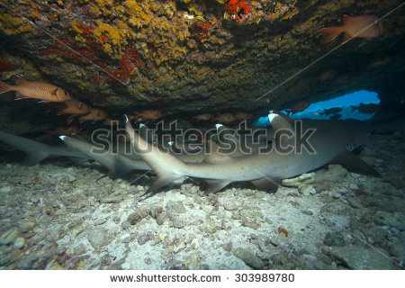 White Tipped Reef Shark clipart #6, Download drawings