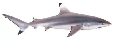 White Tipped Reef Shark clipart #18, Download drawings