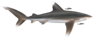 White Tipped Reef Shark clipart #17, Download drawings