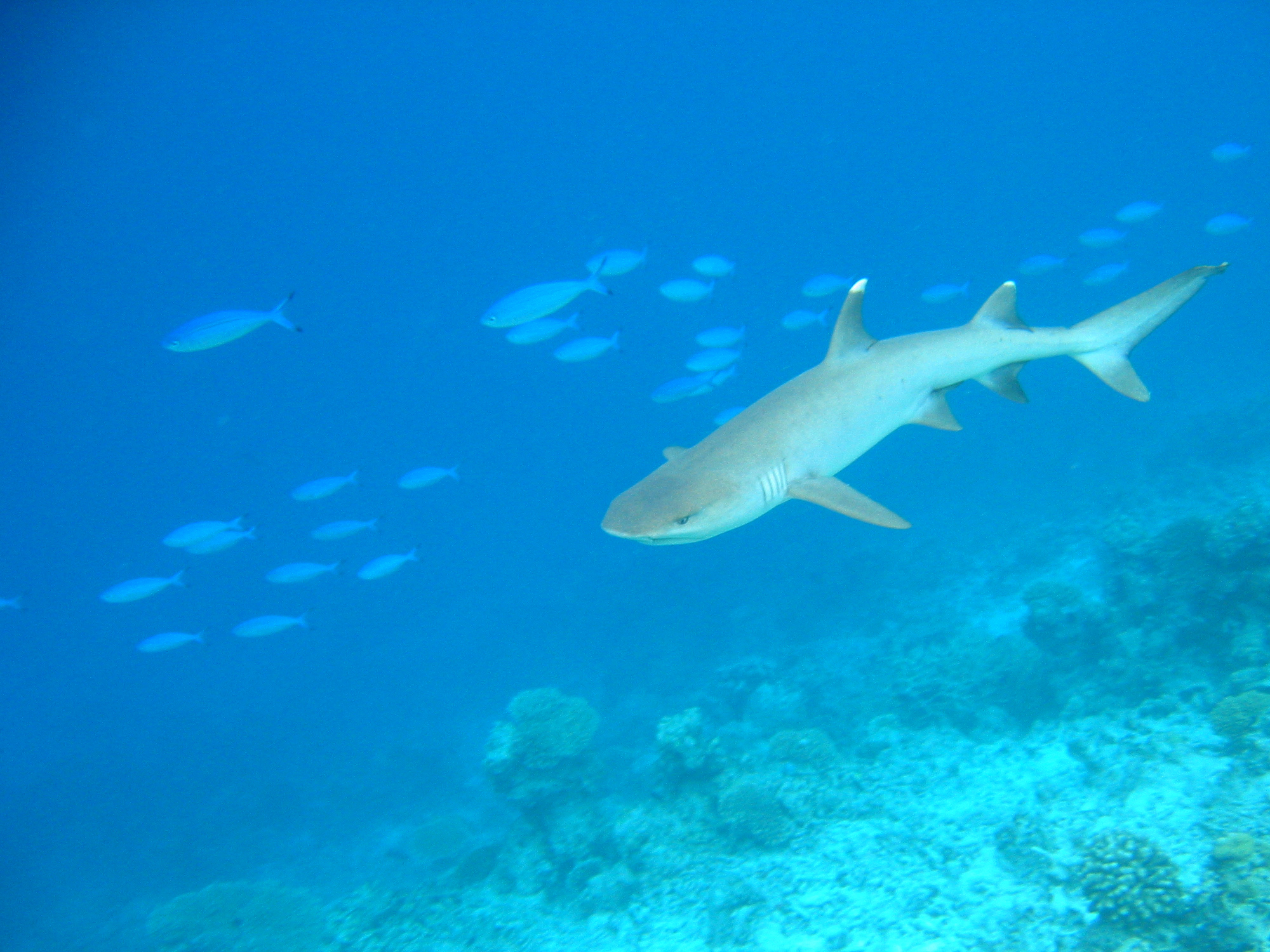 White Tipped Reef Shark svg #12, Download drawings