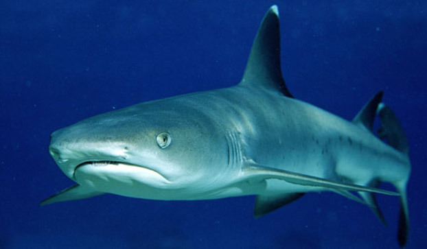 White Tipped Reef Shark clipart #11, Download drawings