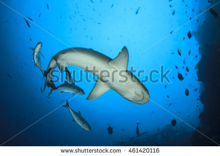 White Tipped Reef Shark clipart #14, Download drawings