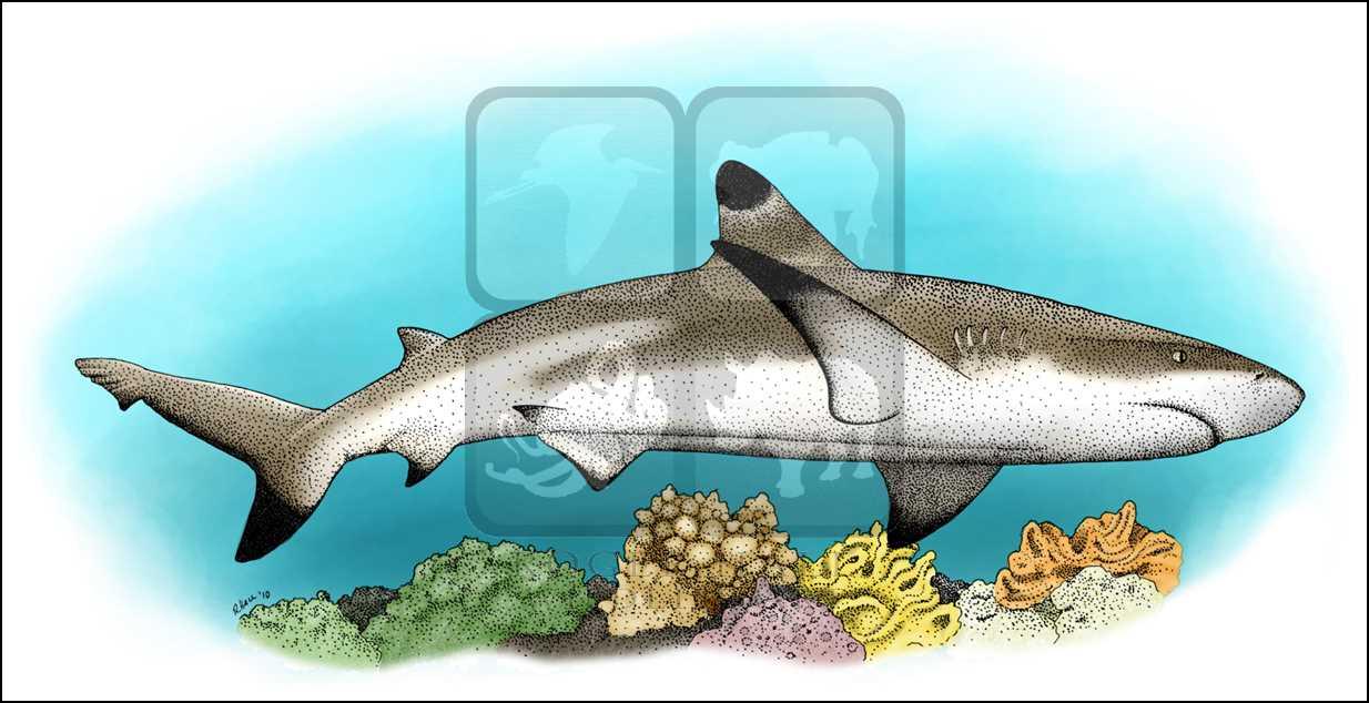 White Tipped Reef Shark clipart #4, Download drawings