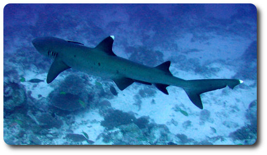 White Tipped Reef Shark coloring #8, Download drawings