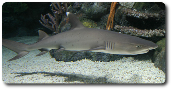 White Tipped Reef Shark coloring #6, Download drawings