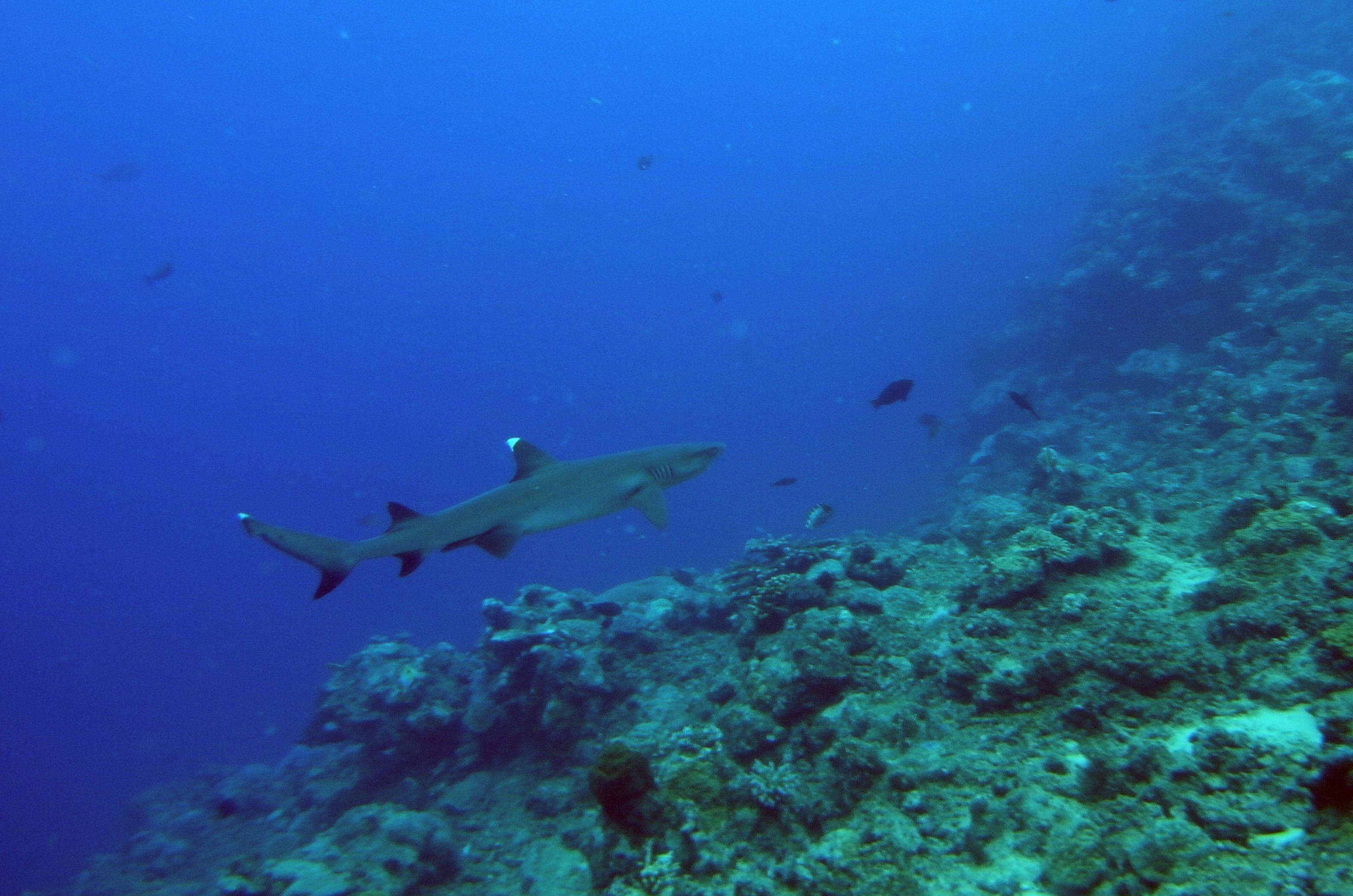White Tipped Reef Shark svg #4, Download drawings