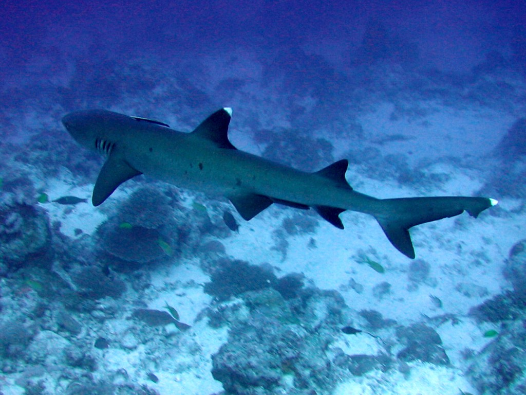 White Tipped Reef Shark svg #13, Download drawings