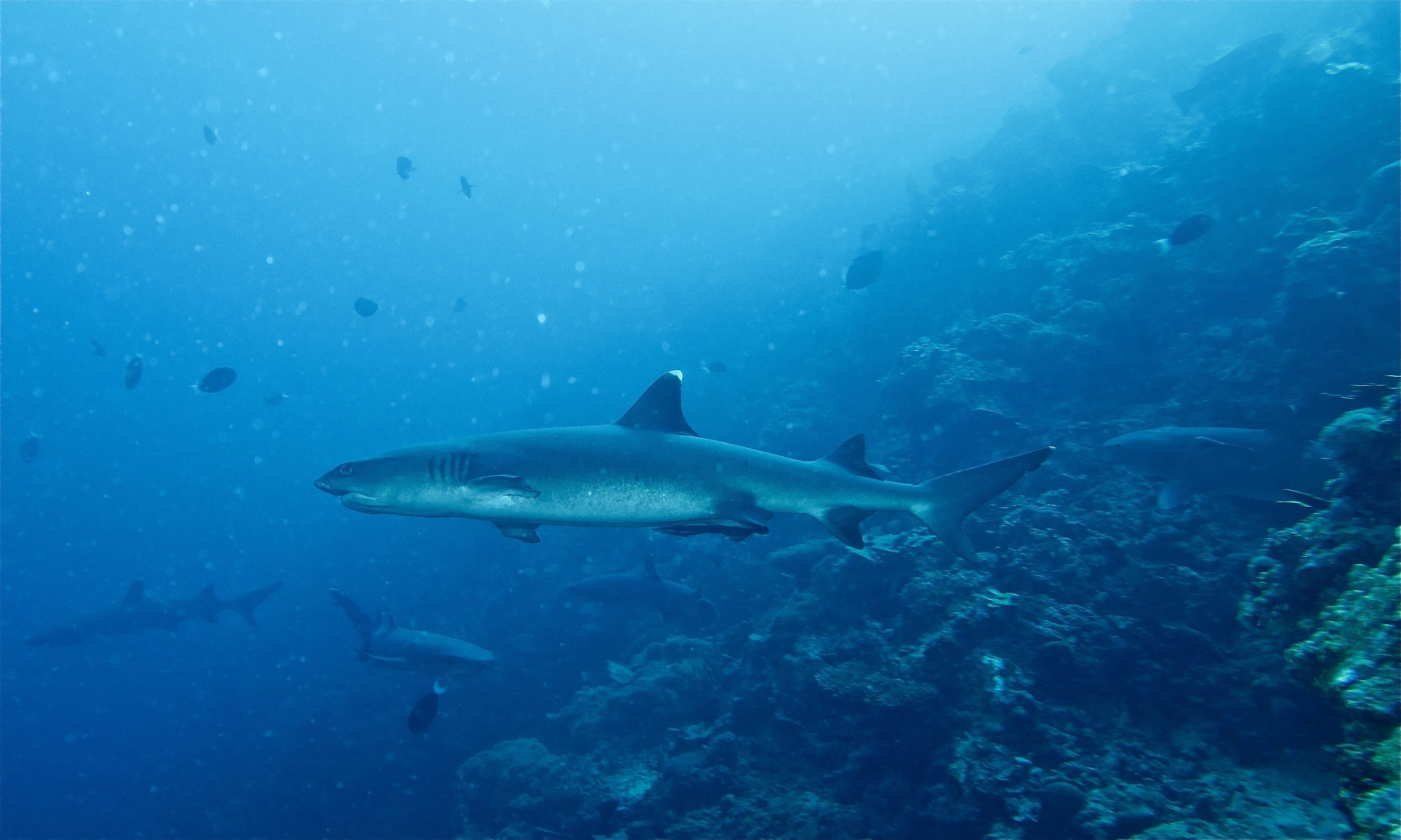 White Tipped Reef Shark svg #2, Download drawings
