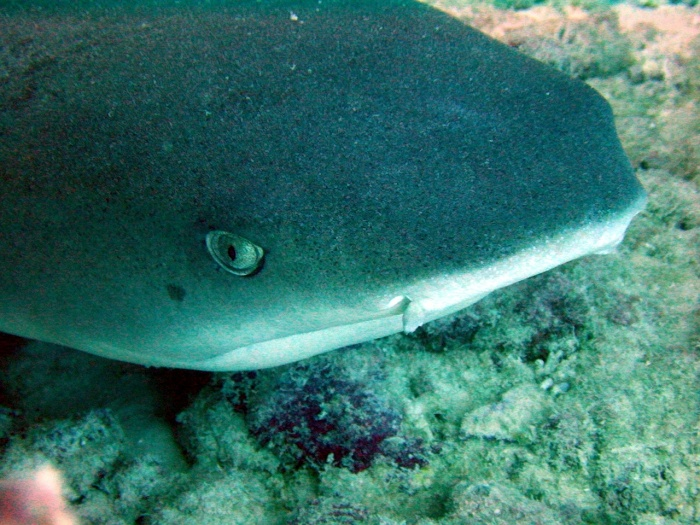 White Tipped Reef Shark svg #8, Download drawings