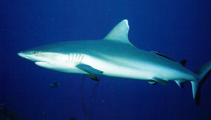 White Tipped Reef Shark svg #11, Download drawings