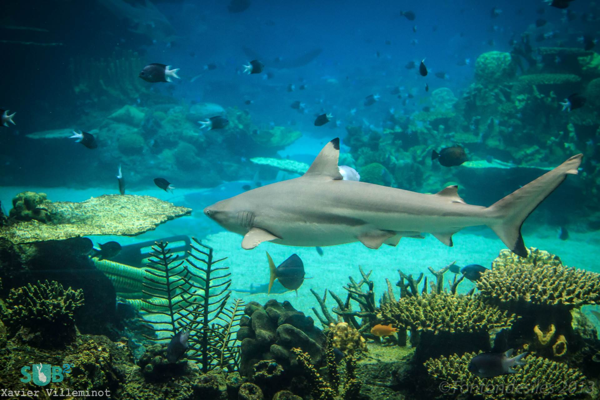 White Tipped Reef Shark svg #3, Download drawings