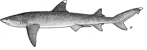 White Tipped Reef Shark svg #5, Download drawings