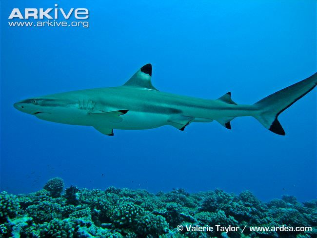 White Tipped Reef Shark svg #17, Download drawings