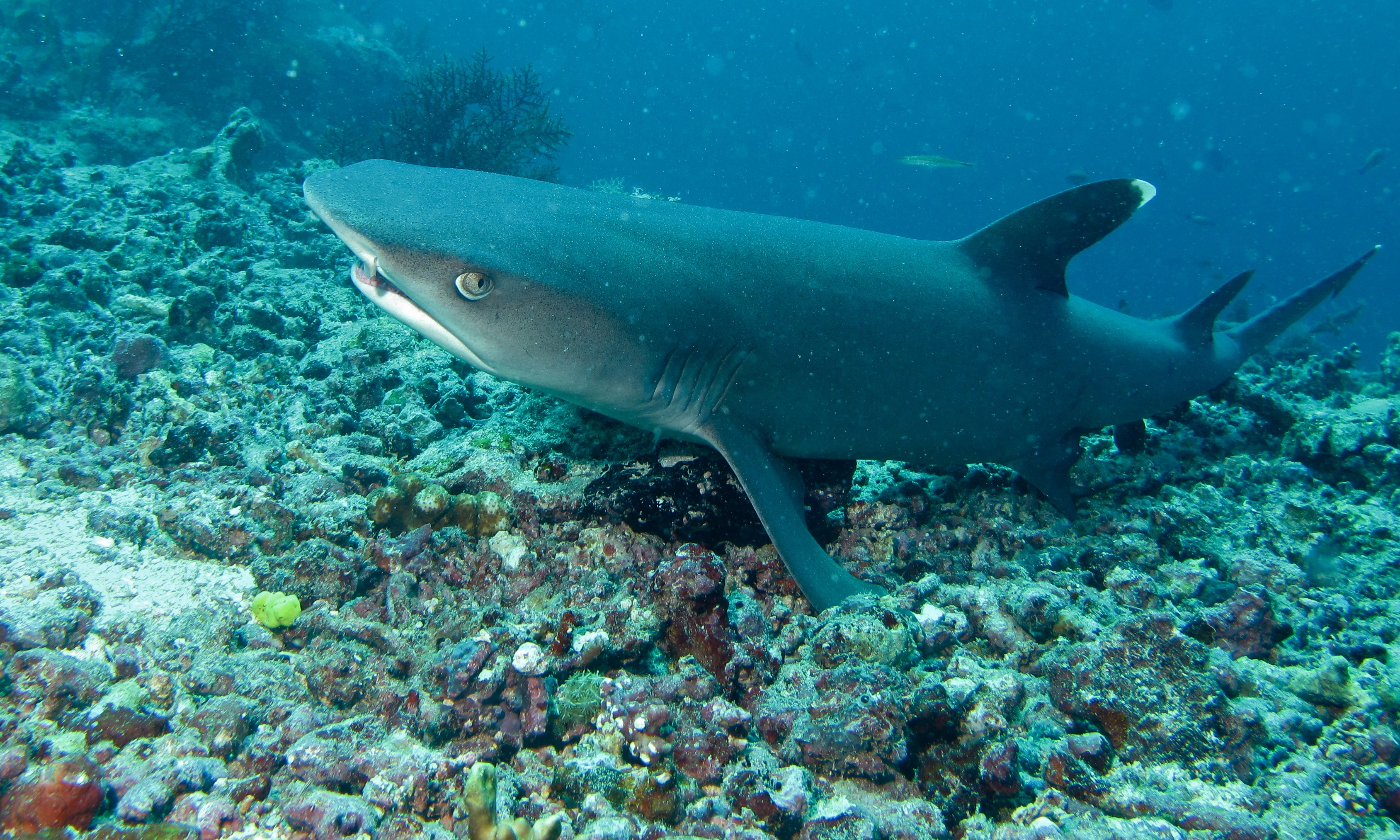 White Tipped Reef Shark svg #1, Download drawings