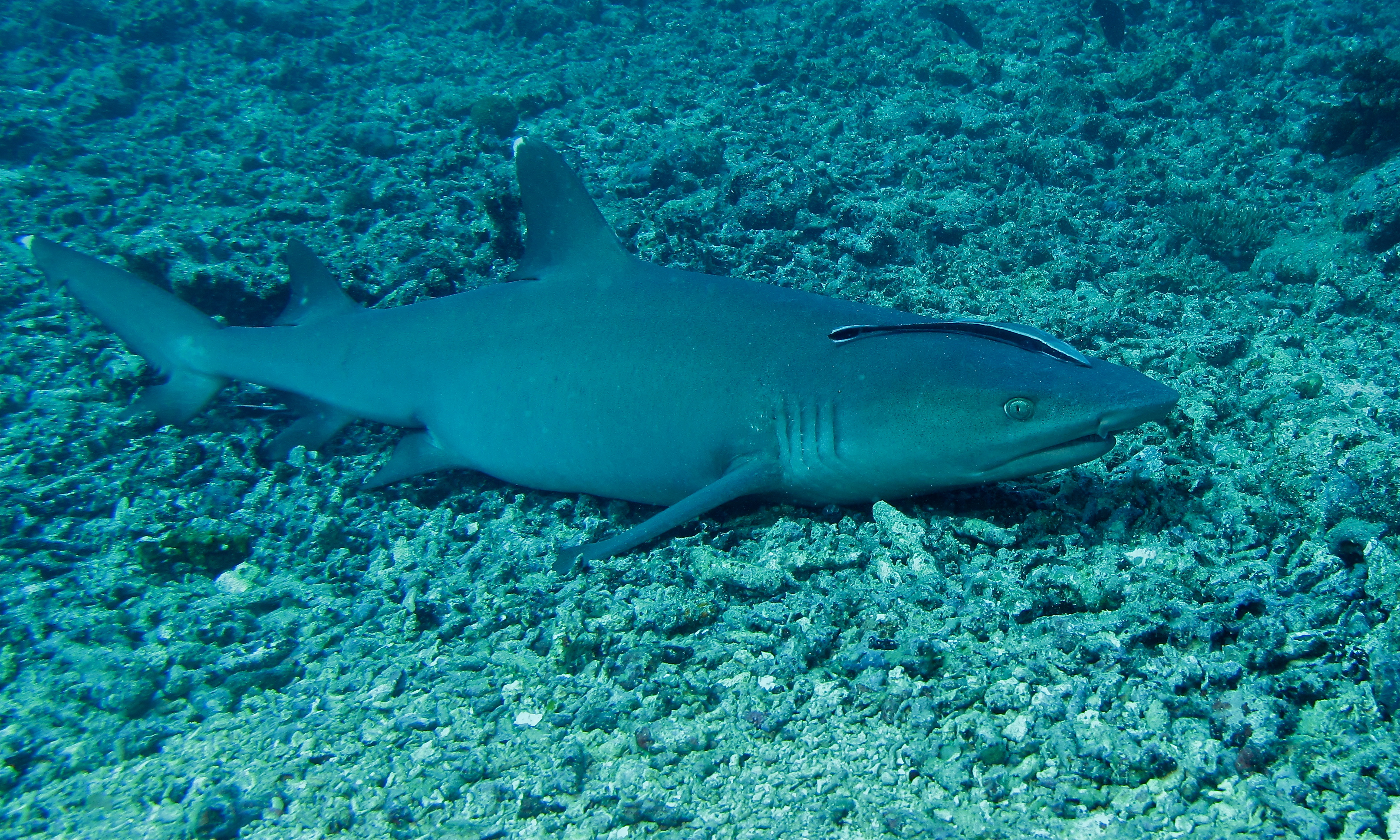 White Tipped Reef Shark svg #10, Download drawings