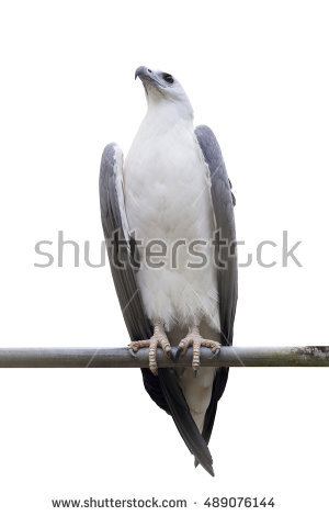 White-bellied Sea Eagle clipart #14, Download drawings