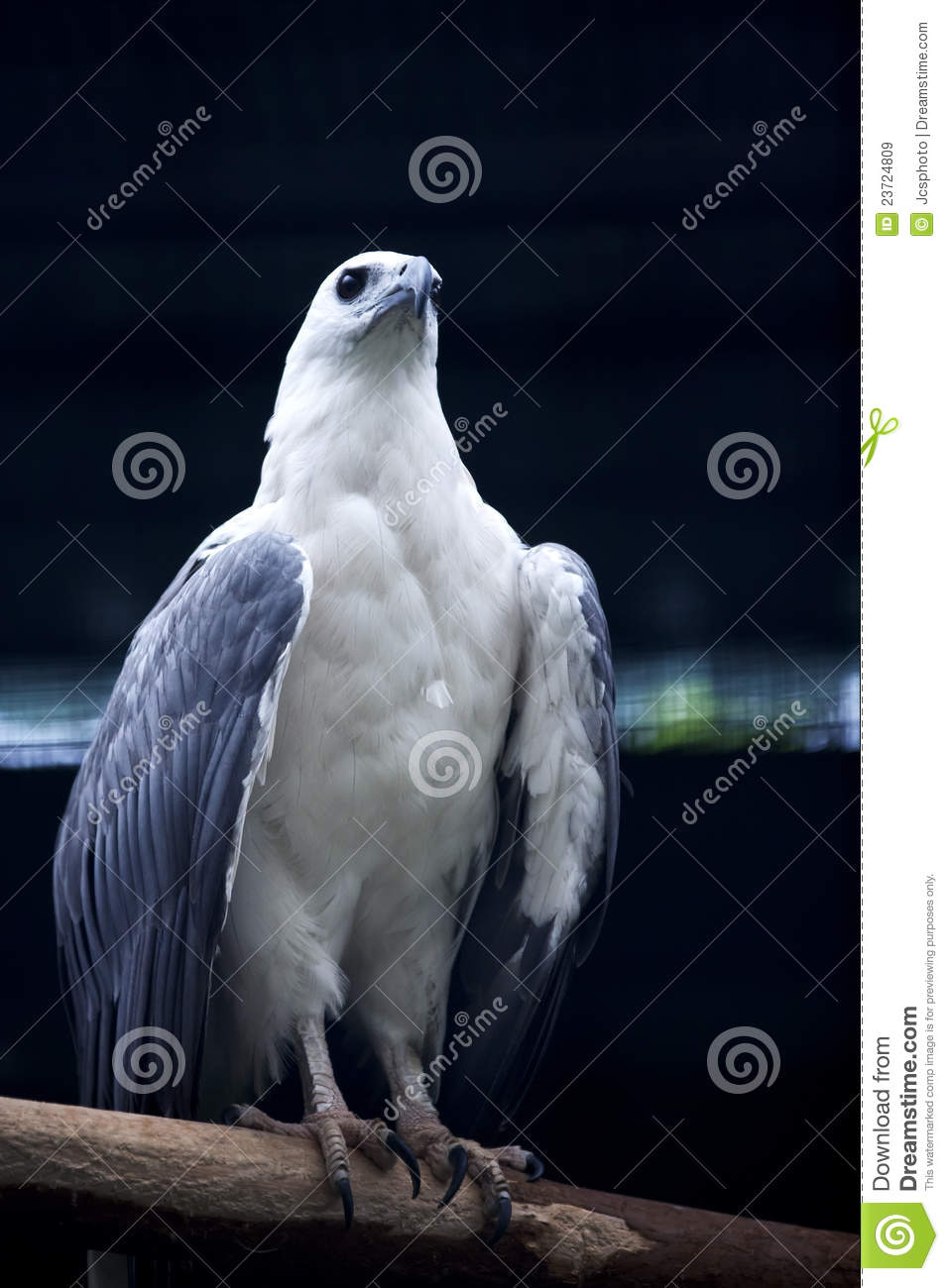 White-bellied Sea Eagle clipart #13, Download drawings