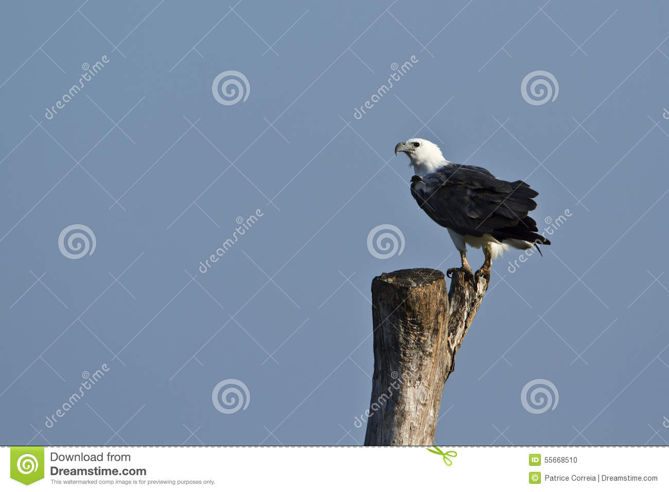 White-bellied Sea Eagle clipart #5, Download drawings