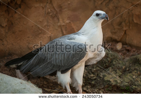 White-bellied Sea Eagle clipart #3, Download drawings