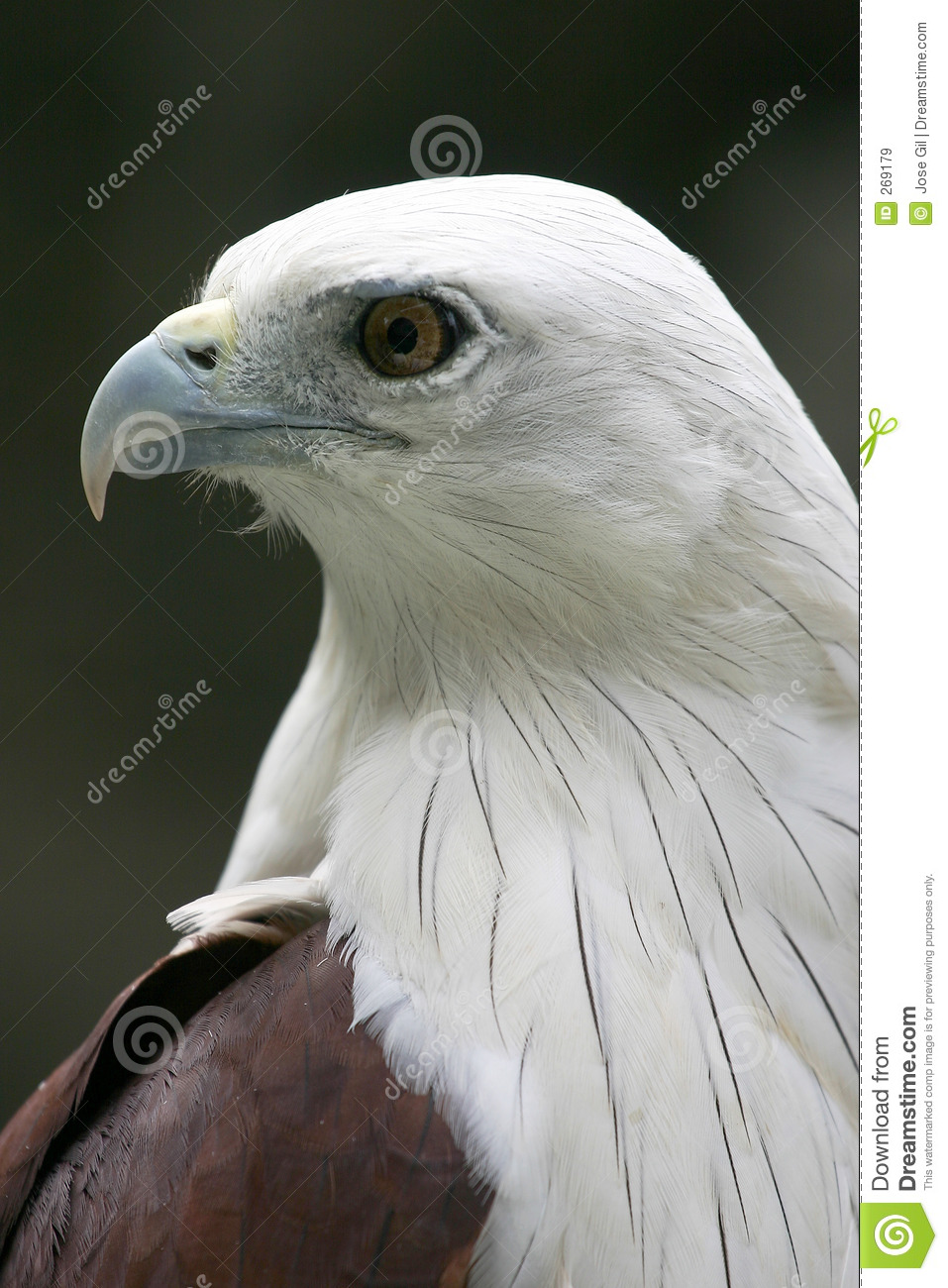 White-bellied Sea Eagle clipart #19, Download drawings