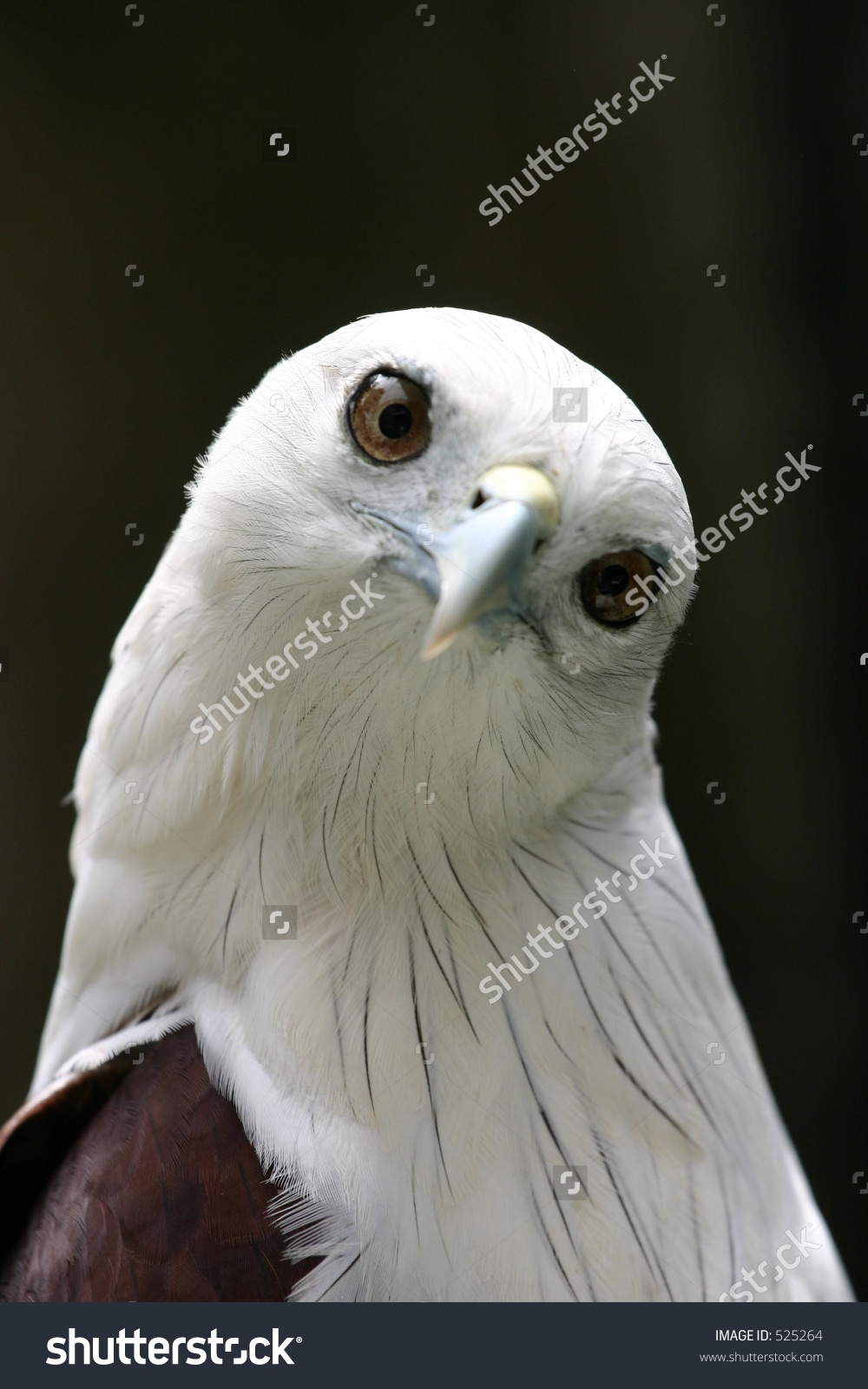 White-bellied Sea Eagle clipart #8, Download drawings