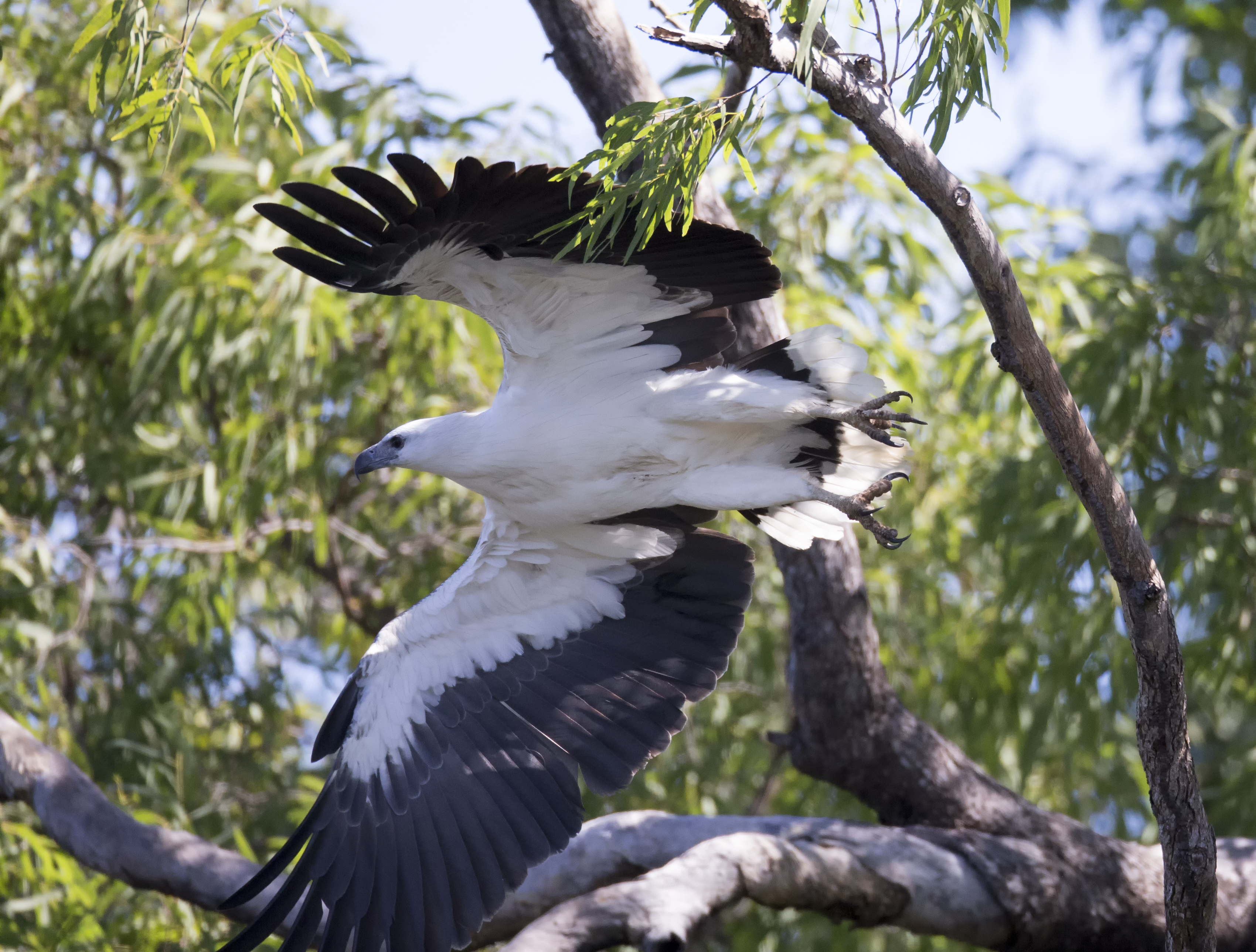 White-bellied Sea Eagle svg #1, Download drawings