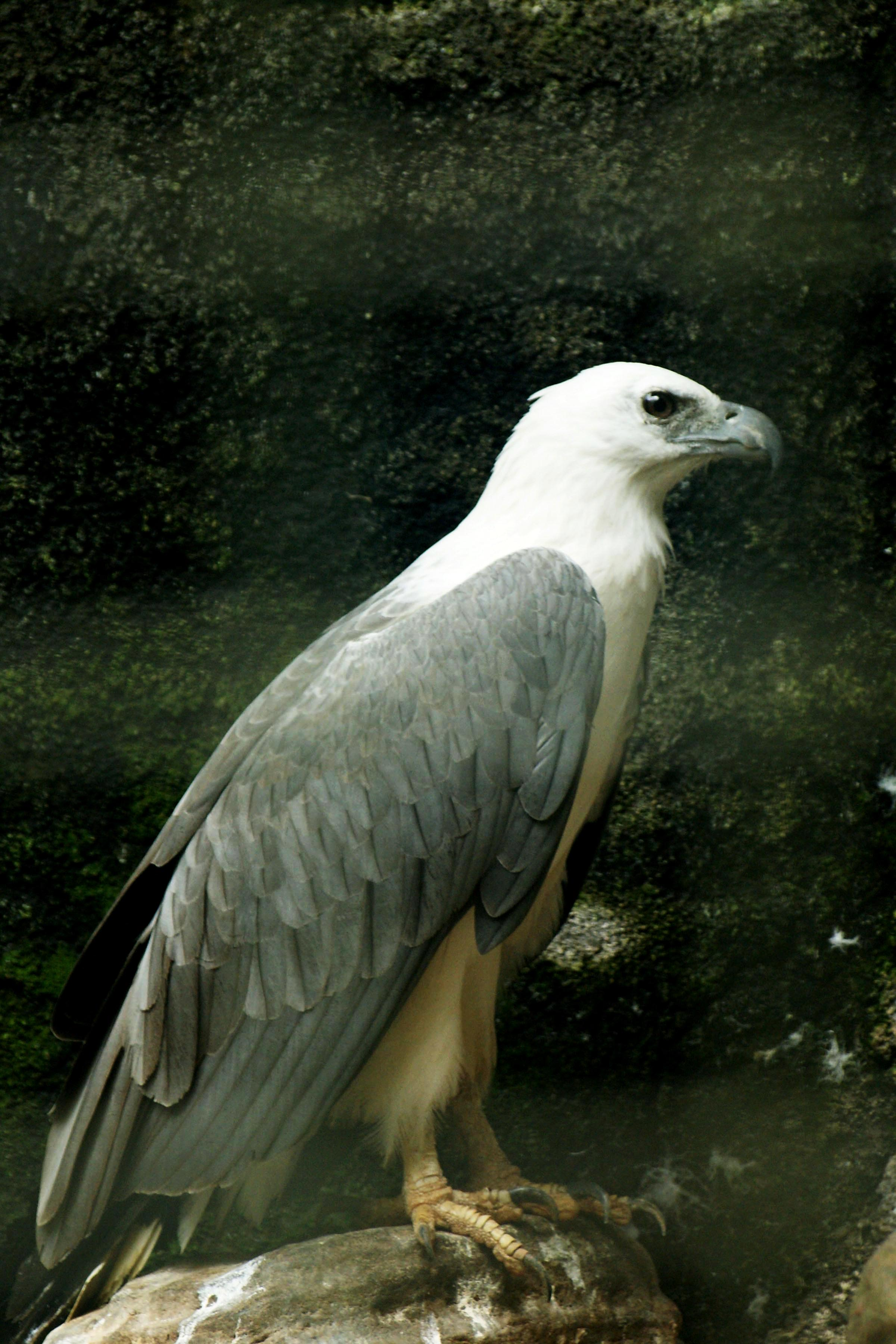 White-bellied Sea Eagle svg #8, Download drawings