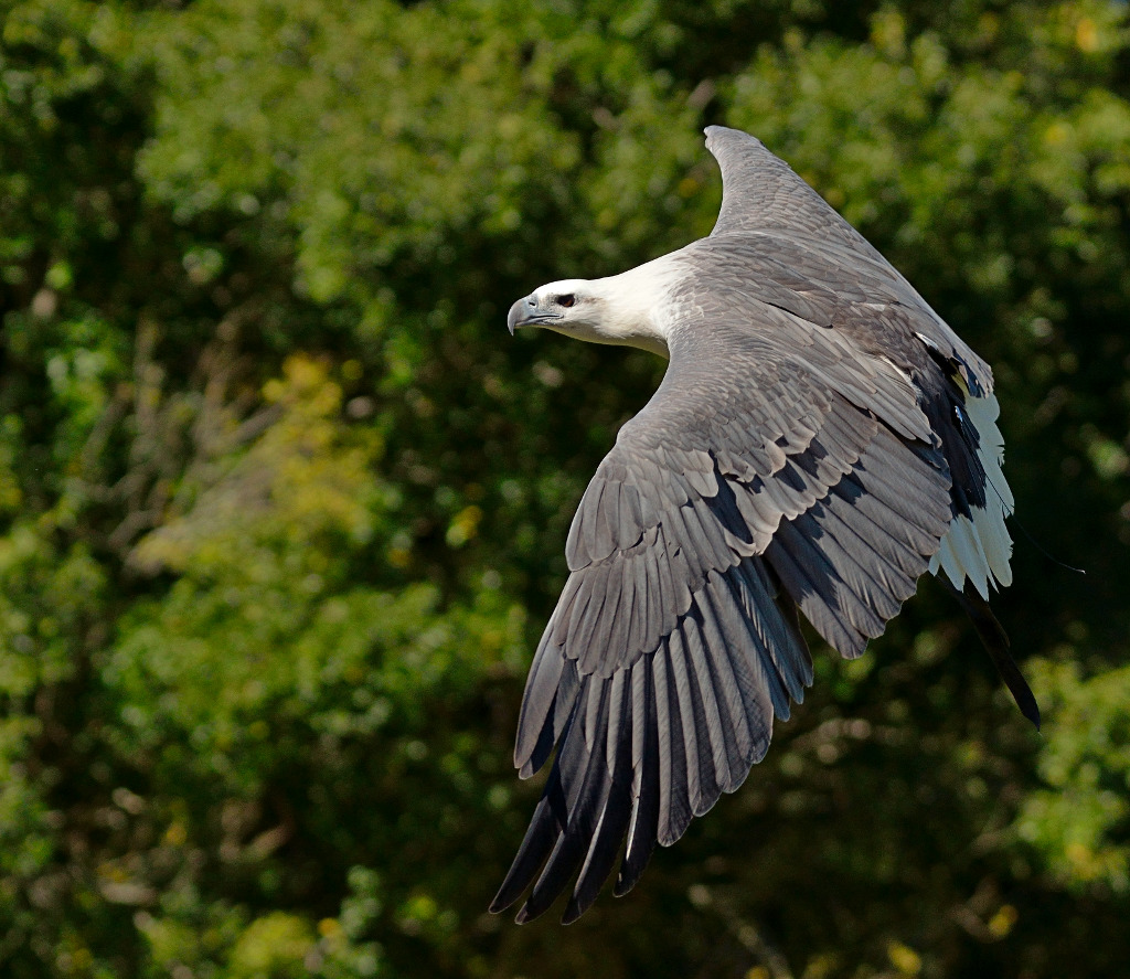 White-bellied Sea Eagle svg #10, Download drawings