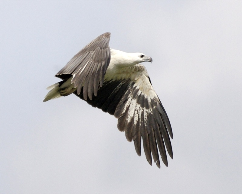 White-bellied Sea Eagle svg #7, Download drawings