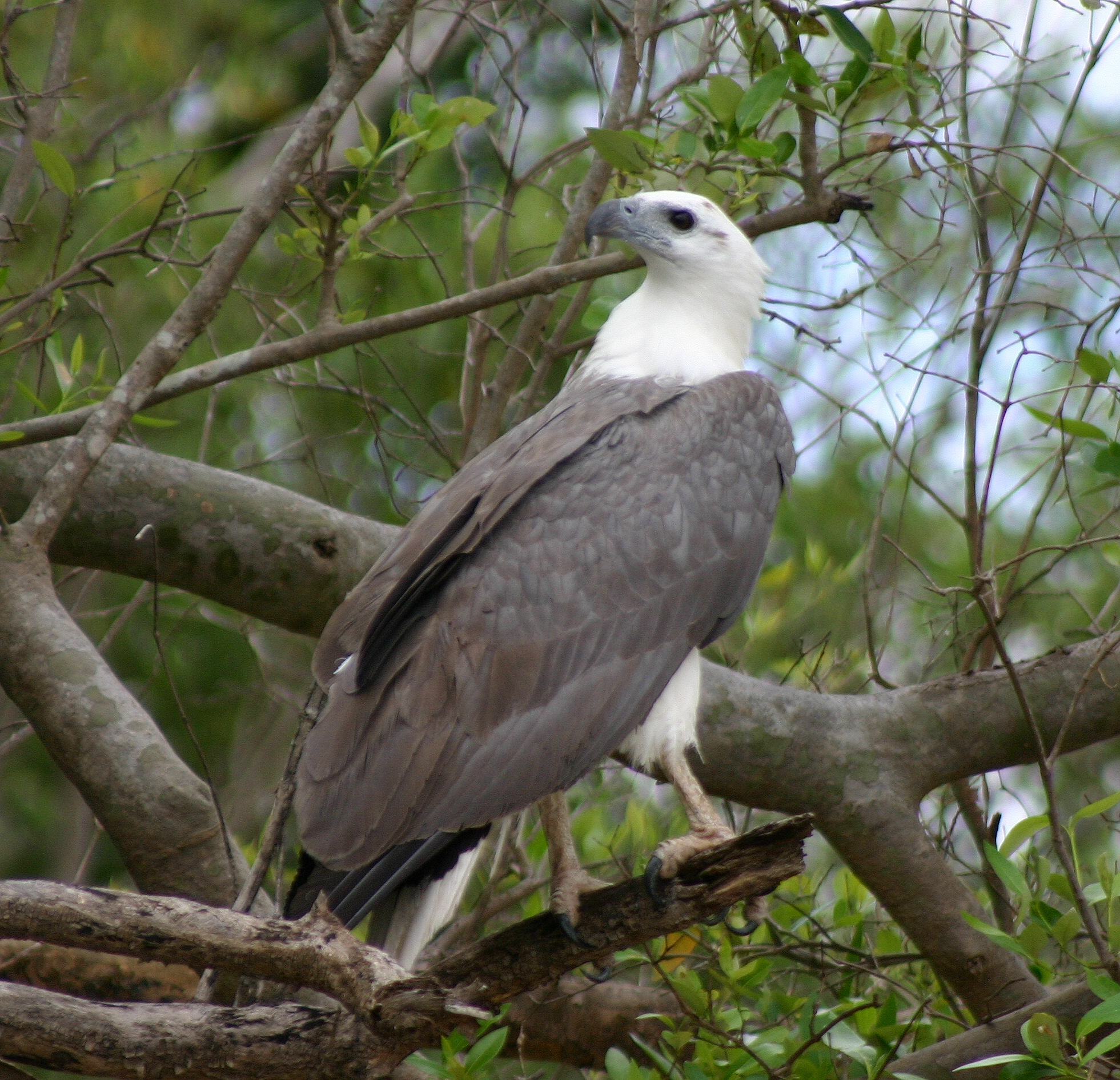 White-bellied Sea Eagle svg #2, Download drawings