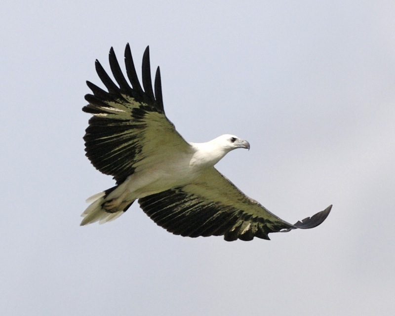 White-bellied Sea Eagle svg #18, Download drawings