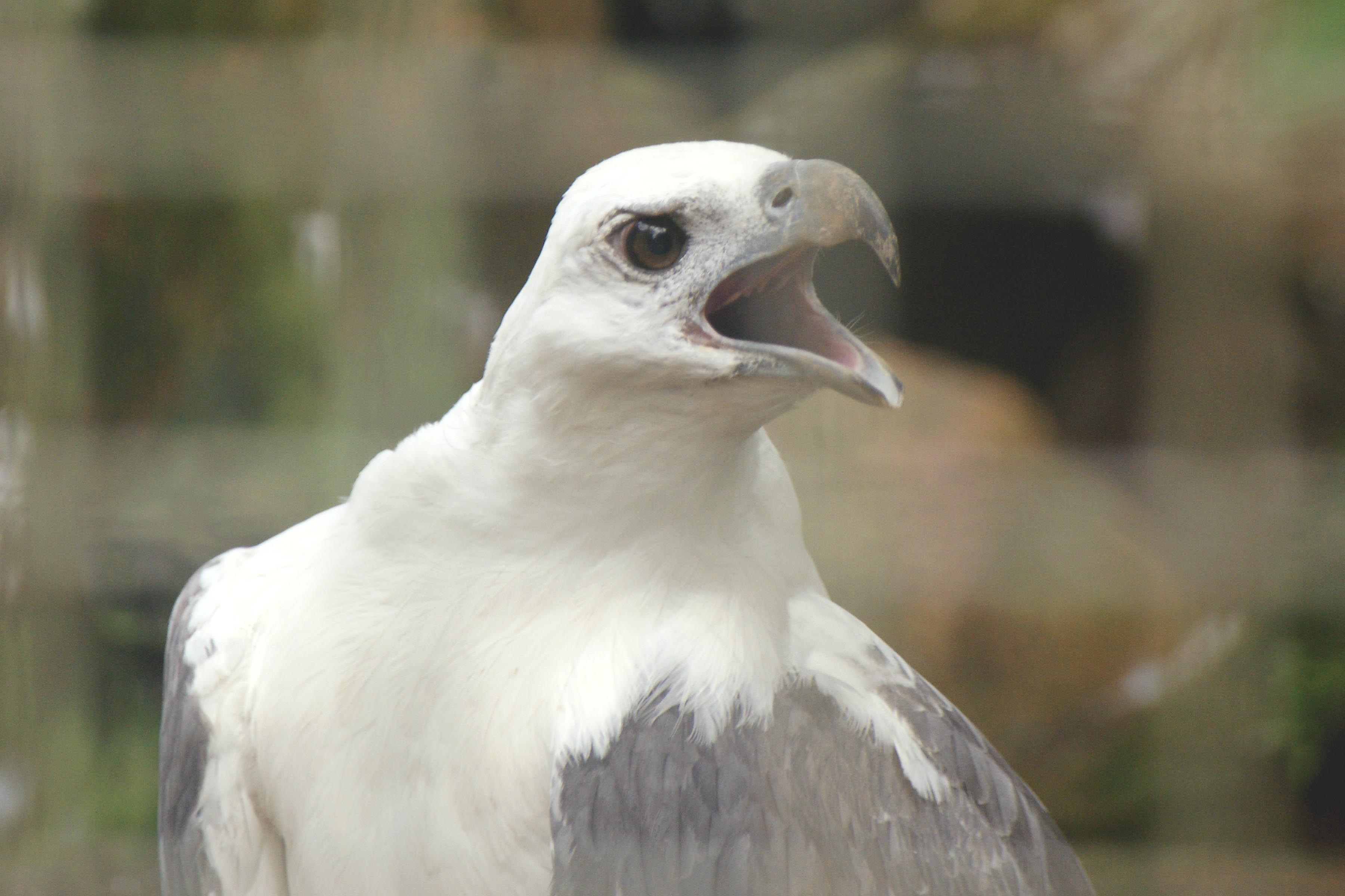 White-bellied Sea Eagle svg #13, Download drawings