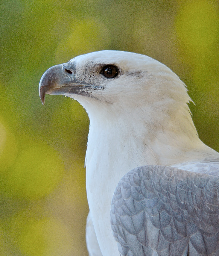 White-bellied Sea Eagle svg #16, Download drawings