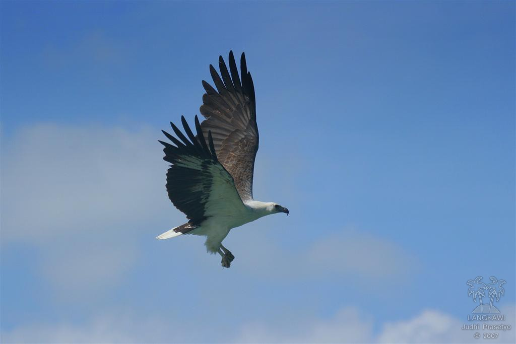 White-bellied Sea Eagle svg #14, Download drawings